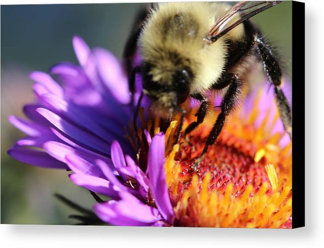 Bee Canvas Print featuring the photograph Violet Sweetness by Terri Ruffino