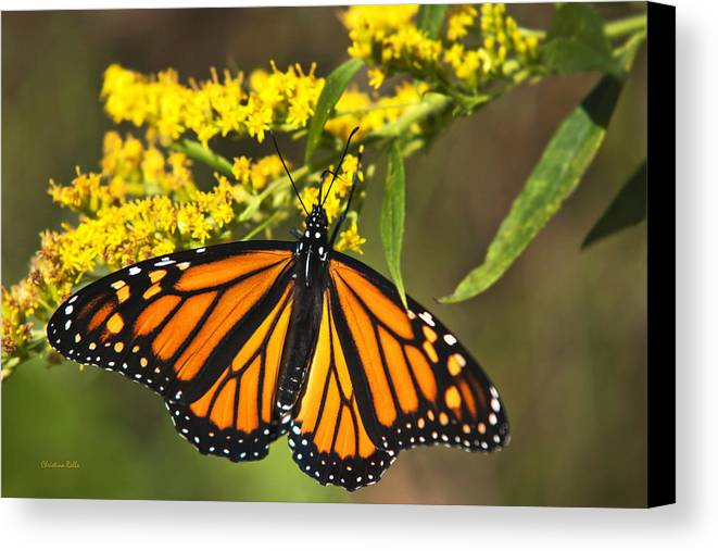 Monarch Butterfly Canvas Print featuring the photograph Wandering Migrant Butterfly by Christina Rollo