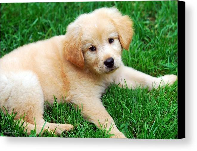 Golden Retriever Puppy Canvas Print featuring the photograph Warm Fuzzy Puppy by Christina Rollo
