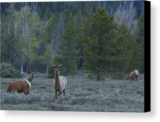 Pronghorn Canvas Print featuring the photograph Watchful by Charles Warren