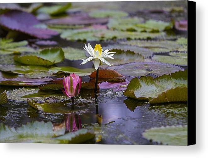 Water Lilly Canvas Print featuring the photograph Water Lillies9 by Charles Warren