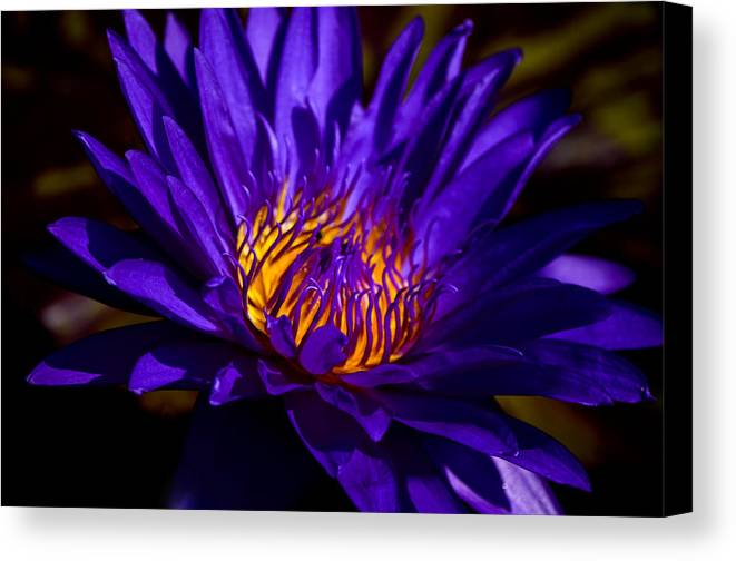 Aquatic Flower Canvas Print featuring the photograph Water Lily 7 by Julie Palencia