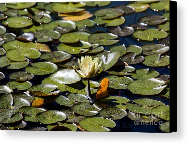 Water Lily Canvas Print featuring the photograph Water Lily And Bees by John Daly