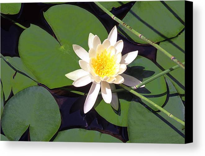 Lilies Canvas Print featuring the photograph Water Lily I I I by Jim Smith
