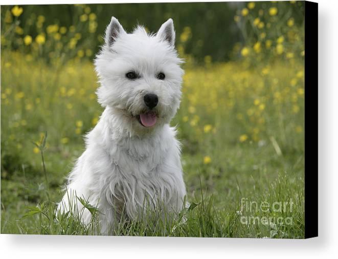 West Highland White Terrier Canvas Print featuring the photograph West Highland White Terrier by Rolf Kopfle