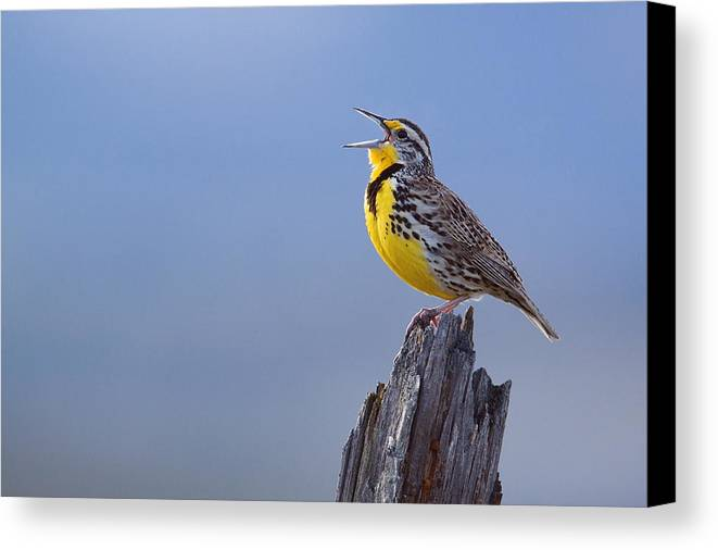 Western Canvas Print featuring the photograph Western Meadowlark Singing by Tom Reichner