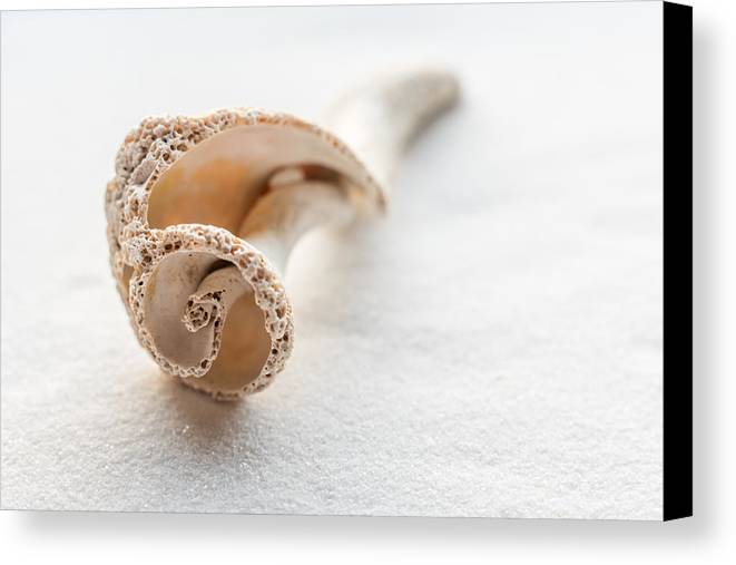 Terry Deluco Canvas Print featuring the photograph Whelk Shell New Jersey Beach by Terry DeLuco
