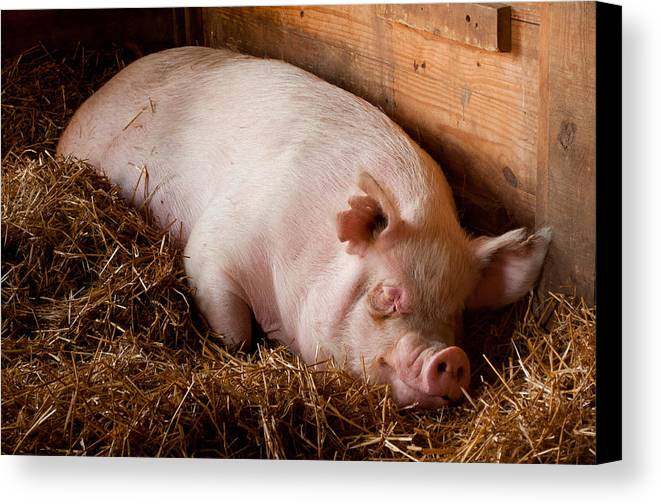 Pig Canvas Print featuring the photograph When Pigs Fly by Troy Corbett