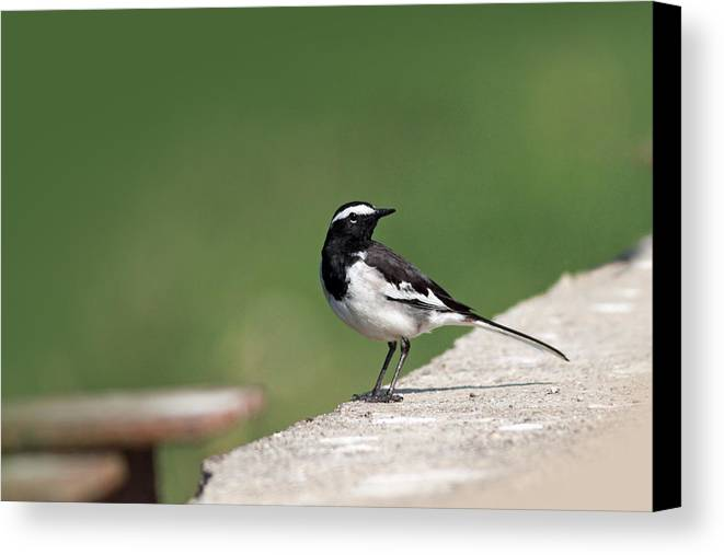 White Browed Wagtail Canvas Print featuring the photograph White Browed Wagtail by Milind Waichal
