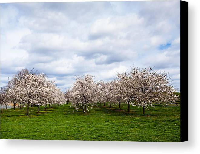 Cherry Canvas Print featuring the photograph White Cherry Blossom Field In Maryland by Susan Schmitz