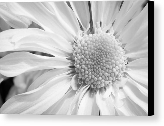 3scape Photos Canvas Print featuring the photograph White Daisy by Adam Romanowicz