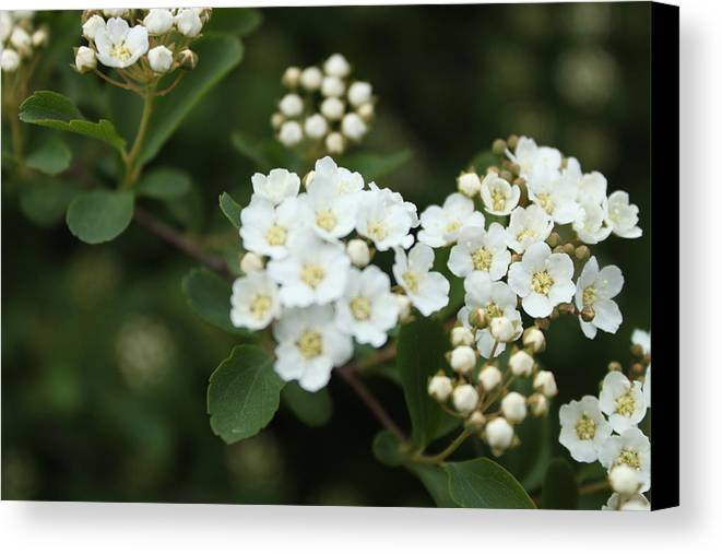 White Canvas Print featuring the photograph White Flowers by Louis Olswang