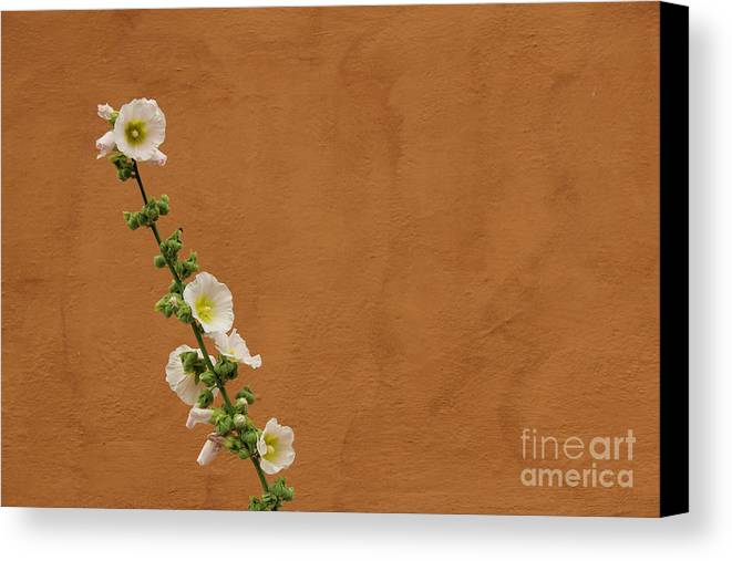 Hollyhocks Canvas Print featuring the photograph White Hollyhock Against Orange Wall by Kerstin Ivarsson