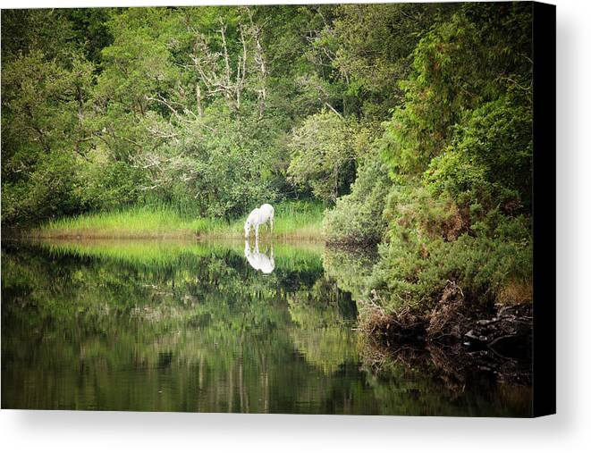 Legends Of Ireland Canvas Print featuring the photograph White Horse Drinking Water by Peter McCabe