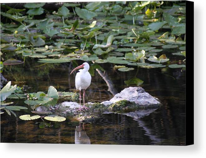 White Ibis Canvas Print featuring the photograph White Ibis With Lily Pads by Shari Bailey