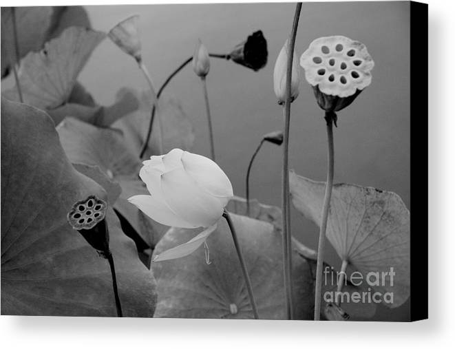 Nature Canvas Print featuring the photograph White Lotus Flowers In Balboa Park San Diego by Julia Hiebaum