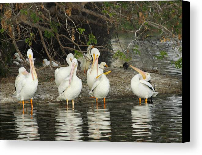 White Pelicans Canvas Print featuring the photograph White Pelicans Grooming by Diana Haronis