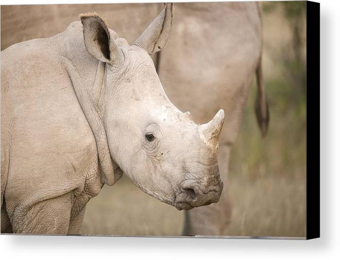 Adult Canvas Print featuring the photograph White Rhinoceros Calf by Science Photo Library