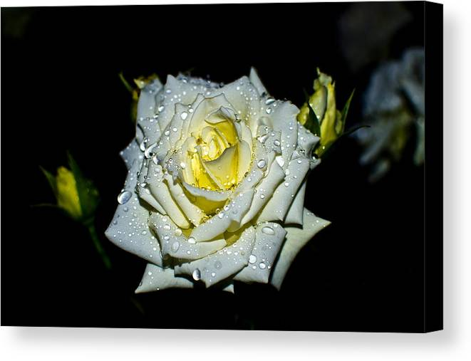 Rose Canvas Print featuring the photograph White Rose With Dew by Mihai Piltu