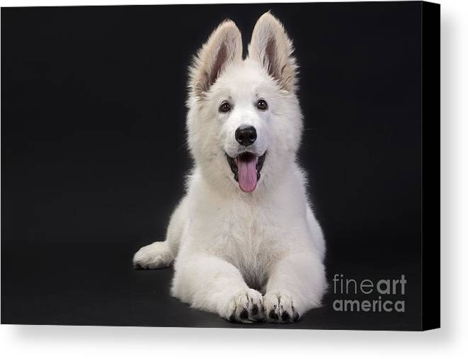 White Swiss Shepherd Canvas Print featuring the photograph White Swiss Shepherd Dog by Jean-Michel Labat