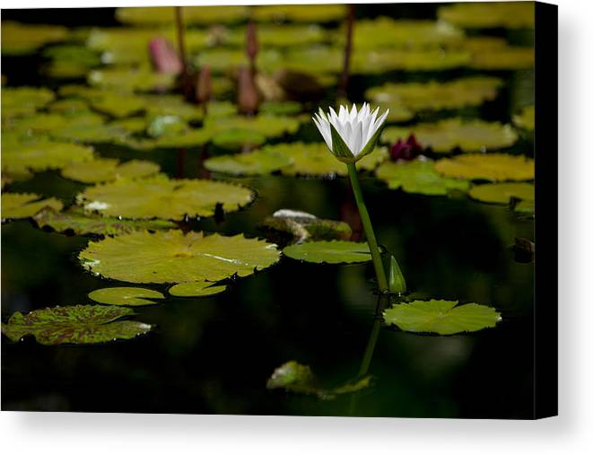 Landscape Canvas Print featuring the photograph White Water Lily Uncropped by Julio Solar