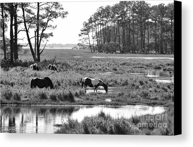 Wild Horses Canvas Print featuring the photograph Wild Horses Of Assateague Feeding by Dan Friend