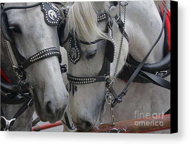 Animals Canvas Print featuring the photograph Working Horses by Amanda Sinco