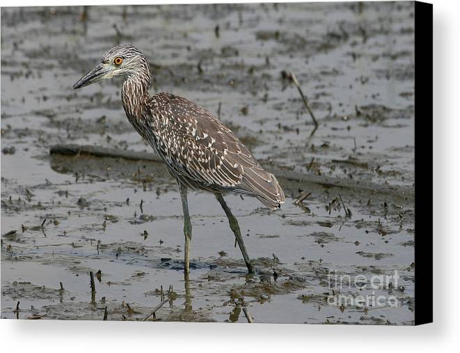 Bird Canvas Print featuring the photograph Yellow-crowned Night Heron by Ken Keener