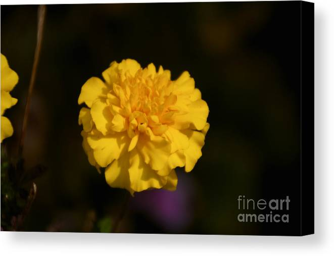 Yellow Canvas Print featuring the photograph Yellow Fall Flower by William Norton