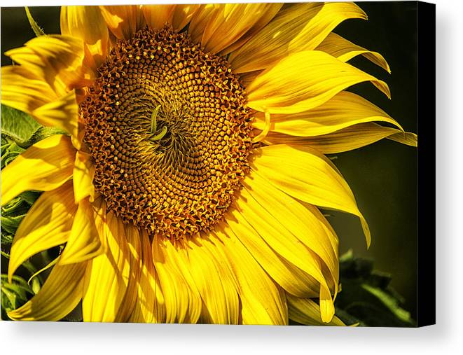 Sunflower Canvas Print featuring the photograph You Are My Sunshine by Belinda Greb