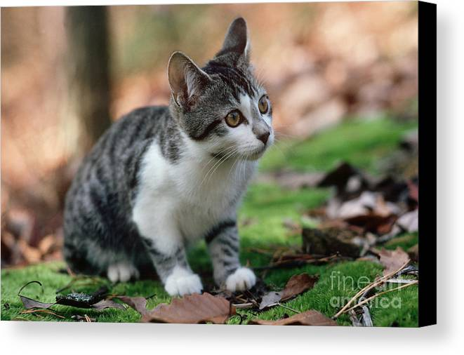 Cat Canvas Print featuring the photograph Young Manx Cat by James L. Amos