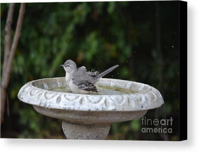Young Northern Mockingbird In Bird Bath Prints Canvas Print featuring the photograph Young Northern Mockingbird In Bird Bath by Ruth Housley