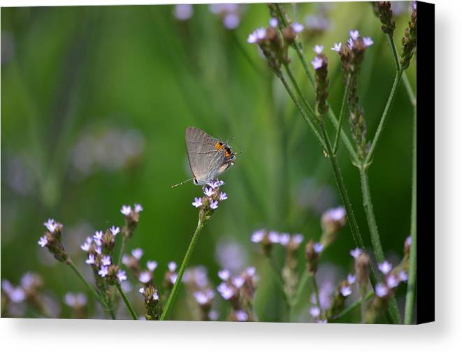 Hairstreak Butterfly Canvas Print featuring the photograph A Little Flower And Little Butterfly by Kathy Gibbons