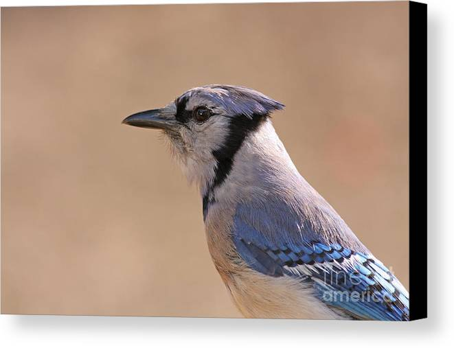 Blue Jay Canvas Print featuring the pyrography Blue Jay Posing by David Cutts