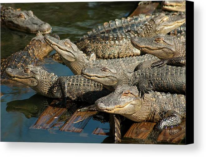 Alligator Canvas Print featuring the photograph Alligator Pool Party by Carolyn Marshall