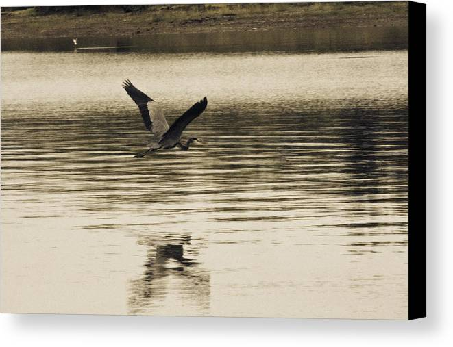 Blue Heron Canvas Print featuring the photograph Crossing The Lake by Douglas Barnard