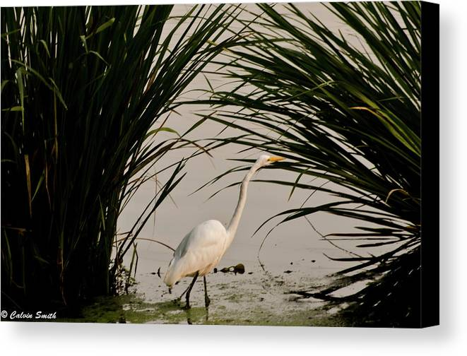 Canvas Print featuring the photograph Egret by Calvin Smith