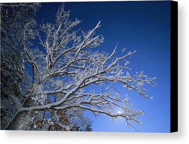 Outdoors Canvas Print featuring the photograph Fresh Snowfall Blankets Tree Branches by Tim Laman