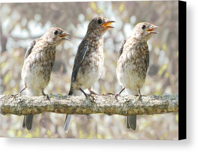 Singing Birds Canvas Print featuring the photograph Sing Sing Sing by Amy Tyler