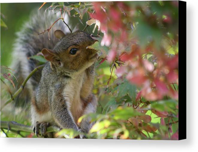 Nature Canvas Print featuring the photograph Squirrel In Fall by Valia Bradshaw