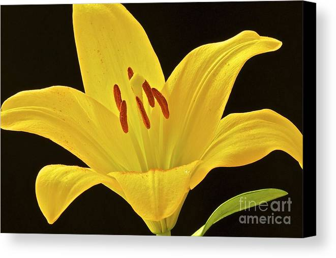 Flower Canvas Print featuring the photograph Yellow Lily by Mihaela Limberea