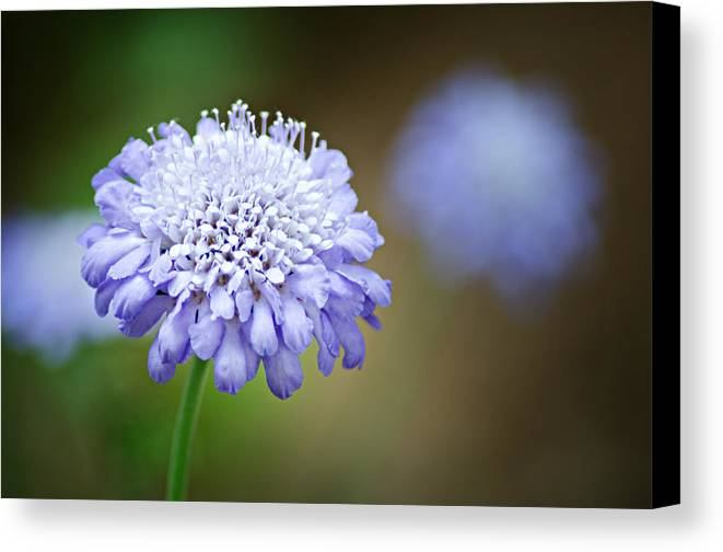 Butterfly Blue Pincushion Flower Canvas Print featuring the photograph 1205-8794 Butterfly Blue Pincushion Flower by Randy Forrester