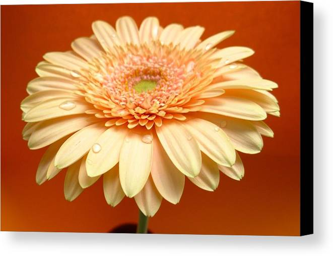 Gerbera Photographs Canvas Print featuring the photograph 1521c-001 by Kimberlie Gerner