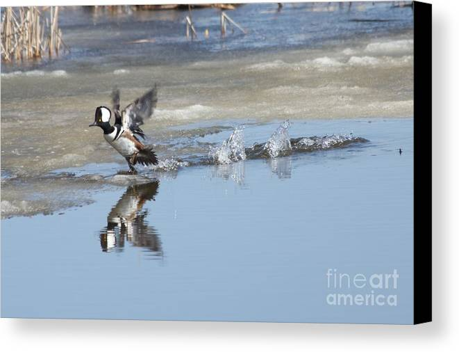 Hodded Canvas Print featuring the photograph Hooded Merganser by Lori Tordsen