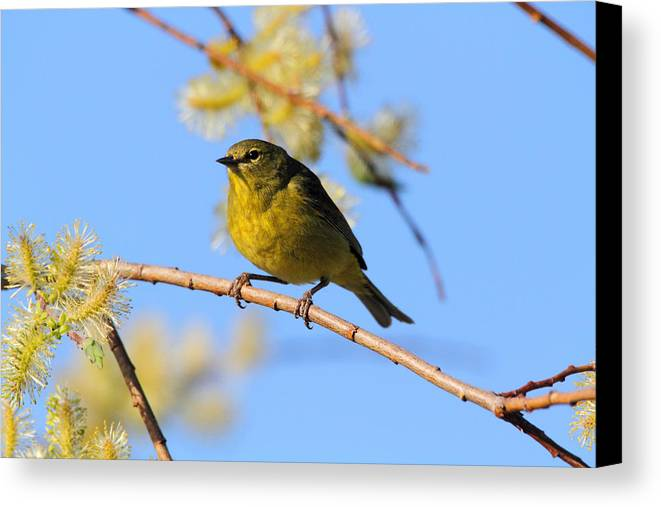 Doug Lloyd Canvas Print featuring the photograph Orangecrowned Warbler by Doug Lloyd