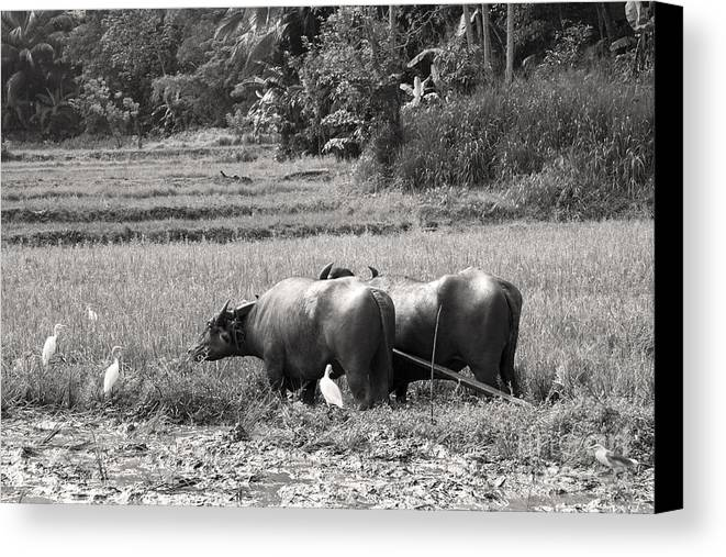 Agriculture Canvas Print featuring the photograph Water Buffalo by Jane Rix