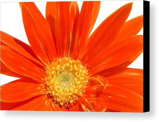 Gerbera Photographs Canvas Print featuring the photograph 2118ac1-002 by Kimberlie Gerner