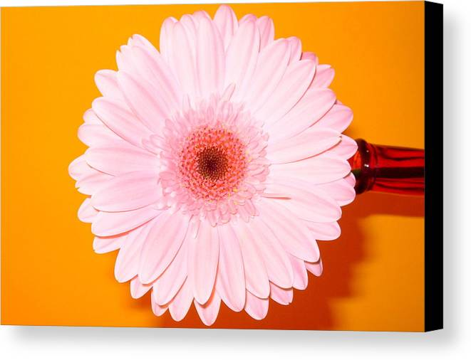 Gerbera Photographs Canvas Print featuring the photograph 2833-0002 by Kimberlie Gerner