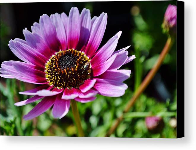 Close Up; Colorful; Flower; Floral; Petals; Sunlight; Green; Garden; Beautiful; Decorative; Leafs; Background; Pink; Red; Yellow; Canvas Print featuring the photograph Colorful Flower by Werner Lehmann