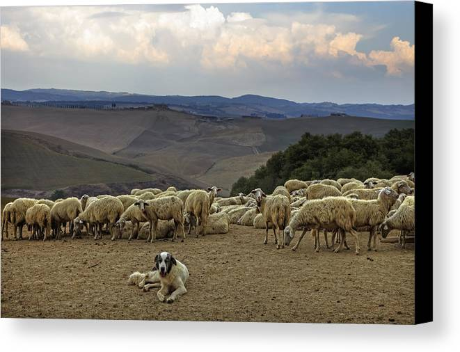 Tuscany Canvas Print featuring the photograph Flock Of Sheep by Joana Kruse